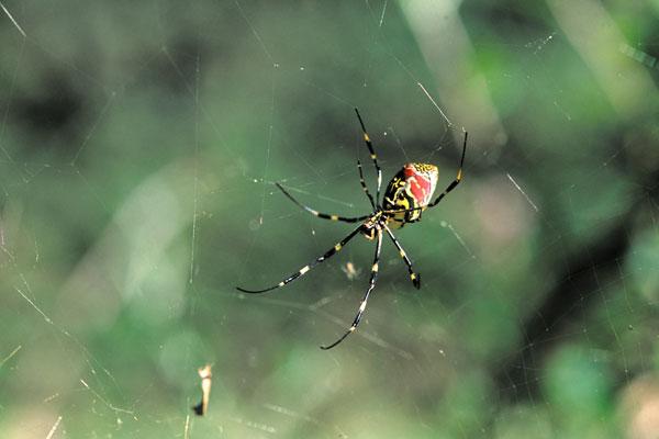 ジョロウグモの画像 p1_8