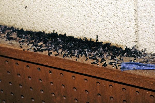 アブラコウモリの画像 p1_9
